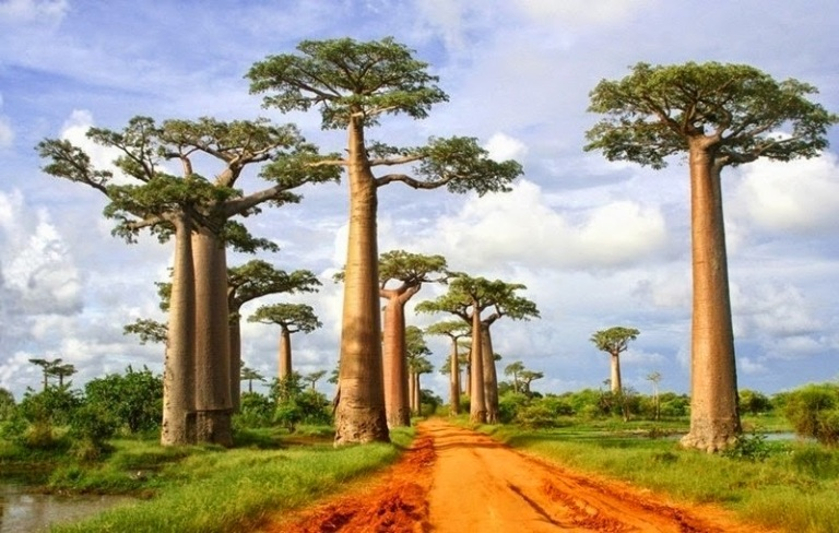 madagascar-1-httpwww-ritebook-in201405the-alley-of-the-baobabs-madagascar-html